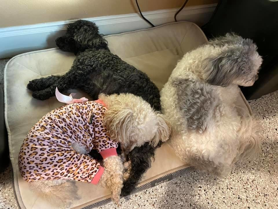 dogs and the link of pet dander to indoor air quality